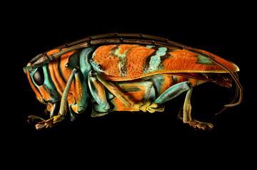 Jewel Longhorned Beetle by Levon Biss