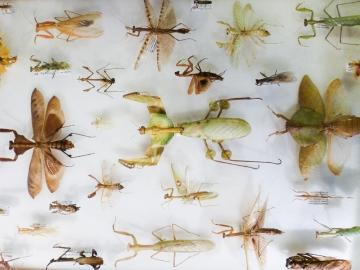 A try of a selection of praying mantis specimens