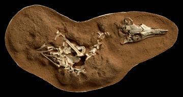 Photograph of fossilized Shuvuuia deserti skeleton by Mick Ellison - American Museum of Natural History
