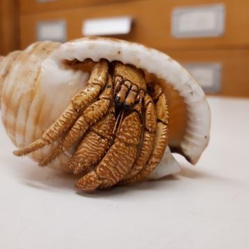 hermit crab specimen